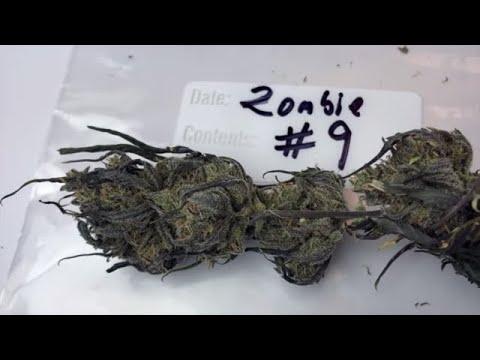 Zombie Kush Cannabis Strain Review Smackdown with Matt K