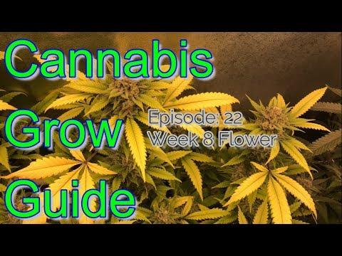 Cannabis Grow Guide Ep. 22 Week 8 Flower Gorilla Glue Bud Porn and Flora Flex Nutrients