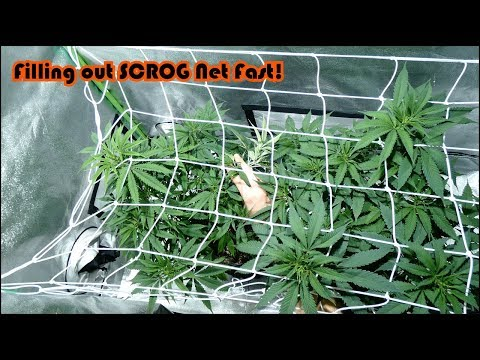 Week 6 Vegetation for the Agent Orange Beginner Grow Series! SCROG Net Filling out Quickly!