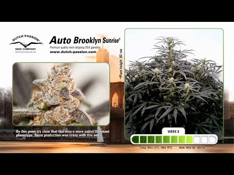 Auto Brooklyn Sunrise® Dutch Passion – Time Lapse of growing cannabis