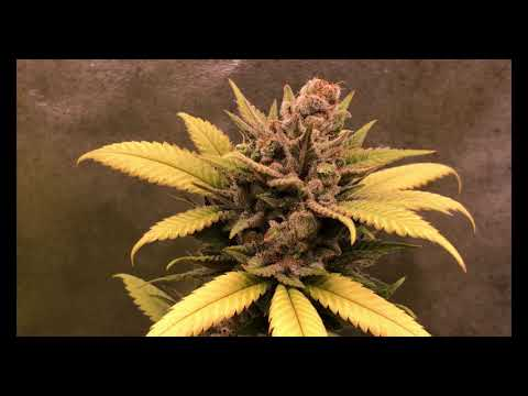 Cannabis Grow Guide Ep. 23 Gorilla Bomb Harvest Time & Hang Drying Environment