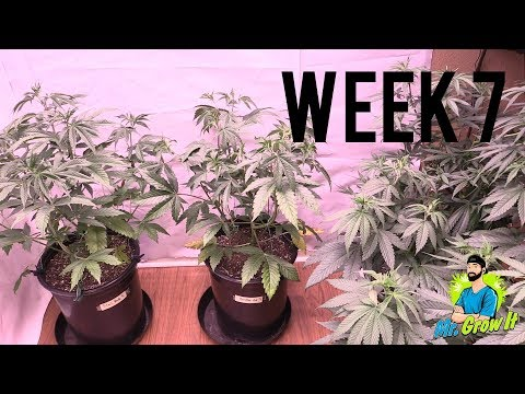 WEEK 7 GROWING CANNABIS INDOORS! – VEGETATION STAGE