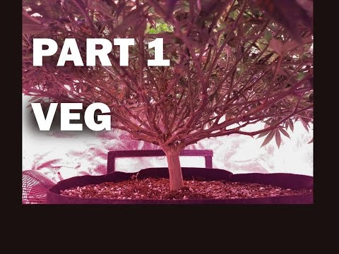 Full CANNABIS Grow – SHORT, BUSHY Plant (VEG)