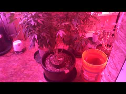 1POUND PLANT INDOORS LED LIGHTS DAY 62