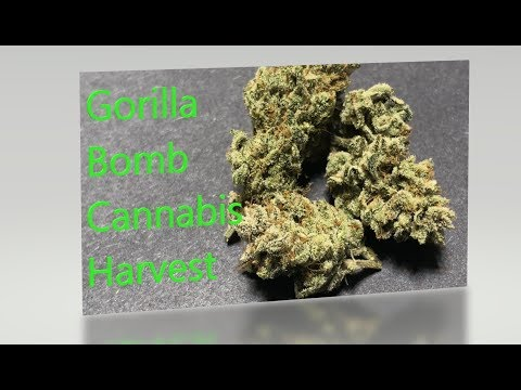 Cannabis Grow Guide Ep. 24 Harvesting Gorilla Bomb.  How to Trim, Dry, and Cure Medical Cannabis