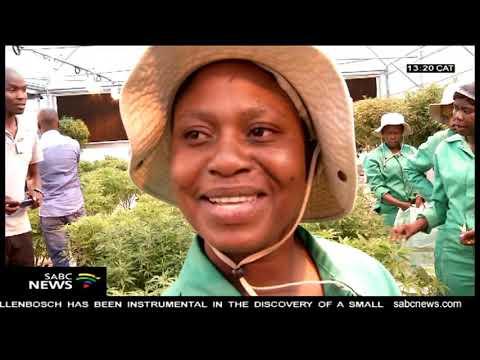 Lesotho inspects Marijuana facilities, companies