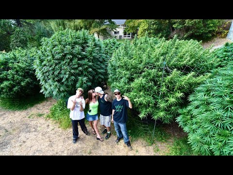 🔥 How To Grow 10 Pound Cannabis Plants🍀 Mendo Dope Marijuana Garden Featured In High Times Magazine⭐