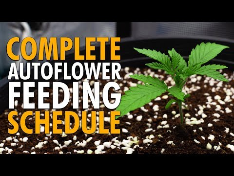 A Simple Autoflower Nutrient Schedule For Beginners