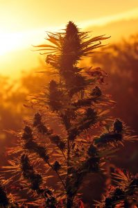 topping-Cannabis