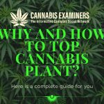 Why-and-How-to-Top-Cannabis-Plant_
