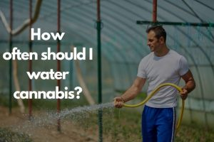 How often should I water cannabis-cannabisexaminer.com